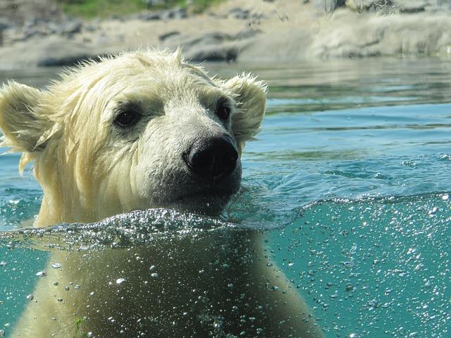 Polar Bear, Vicks, Rotterdam, Blijdorp, Zoo, Swims