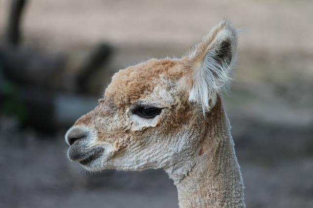 Alpaca, Pako, Vicugna Pacos, Close Up, Head, Face