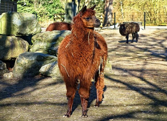 Alpaca, Animal, Mammal, Vicugna Pacos, Tame, Zoo