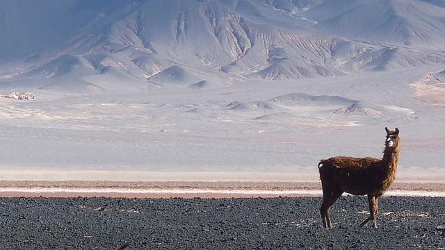Llama, Vicuña, Alpaca, Dessert, Animal, Dry, Sand