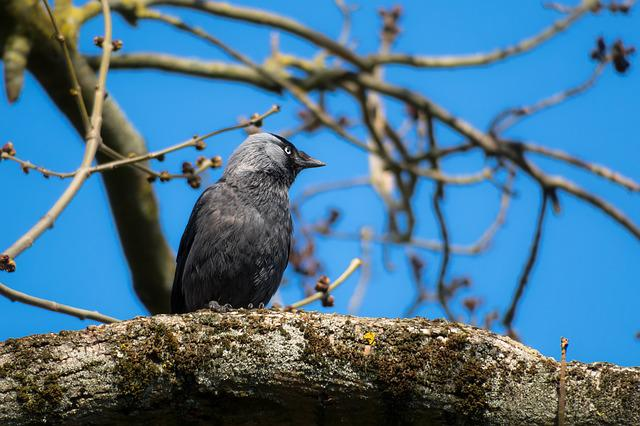 Jackdaw, Watch, Look, View, Viewpoint, Plumage, Bill