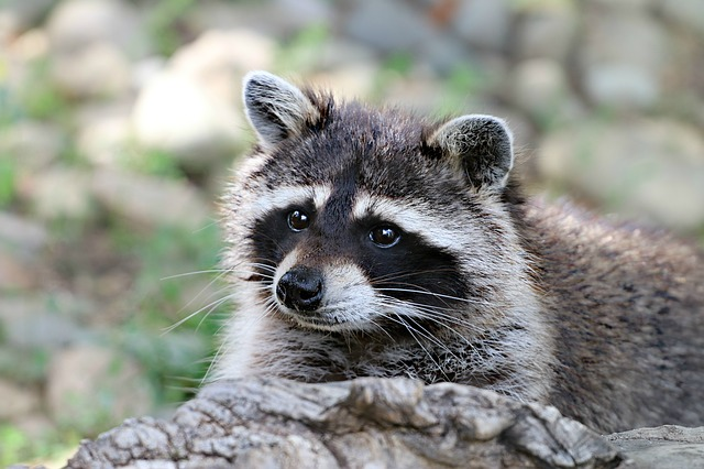 Raccoon, Animal, Wild, View, Forest, Snout, Mammal