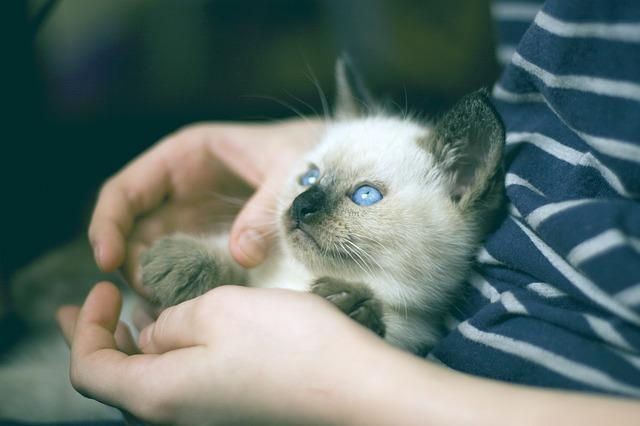 Kitten, Thai Cat, Olubye Eyes, View, Pet