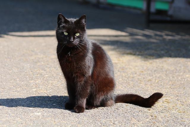 Black Cat, Shadow, Animal, View