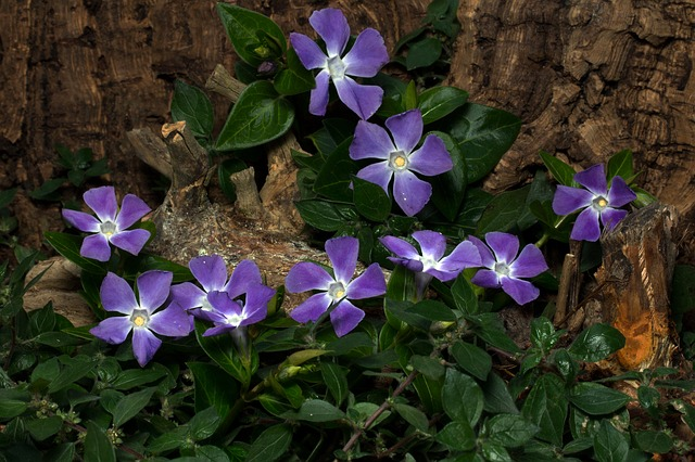 Vinca Minor, Flowers, Spring, The Small Evergreen