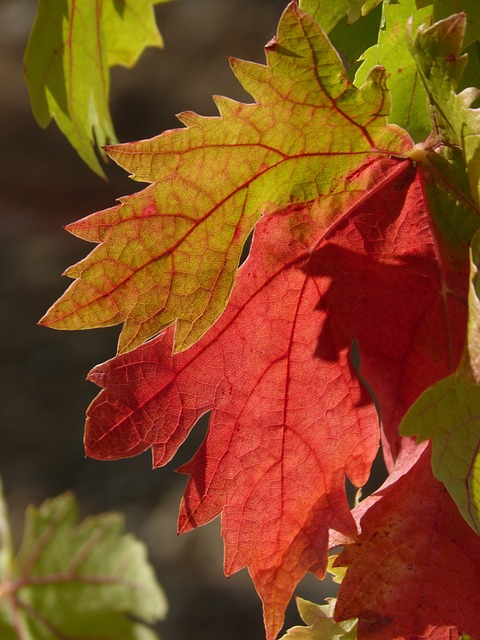 Leaf, Vine Leaf, Red Leaf, Autumn, Trasluz
