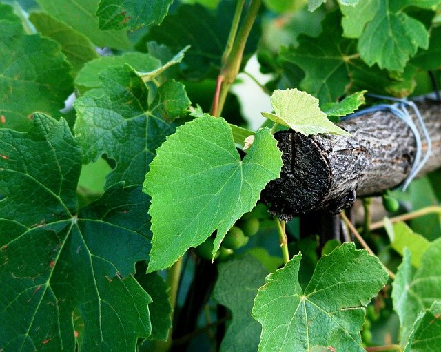 Grape, Vine, Leaves, Green, Vineyard, Pole, Wooden