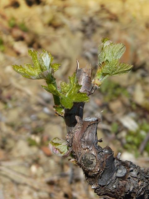 Vine, Vineyard, Outbreak, Sprout, Spring, Bud