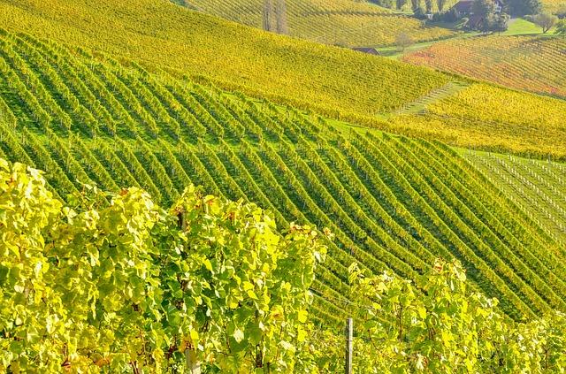 Southern Styria, Wine, Vine