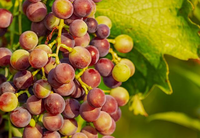Grapes, Grape, Vine, Red Grapes, Wine, Winegrowing