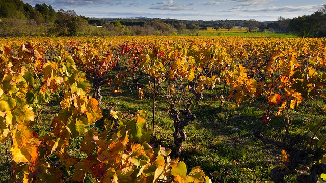 Herald, Vine, Vineyard, Fall, Ceps, Grape