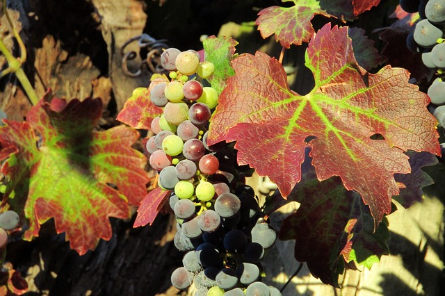 Grapes, Vineyard, Wine, Winery, Plant, Leaves