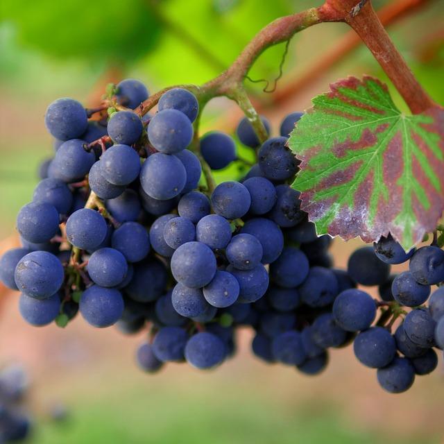Grapes, Red Wine, Vineyard, Trollinger, Winegrowing