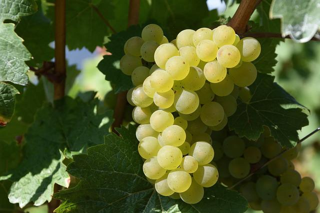 Grape, Winegrowing, White Wine, Vineyards