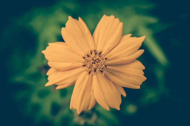 Cosmea, Vintage, Flower, Background, Floral, Beautiful