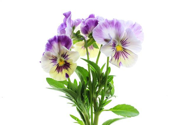 Flower, Nature, Flora, Floral, Blooming, Pansy, Viola