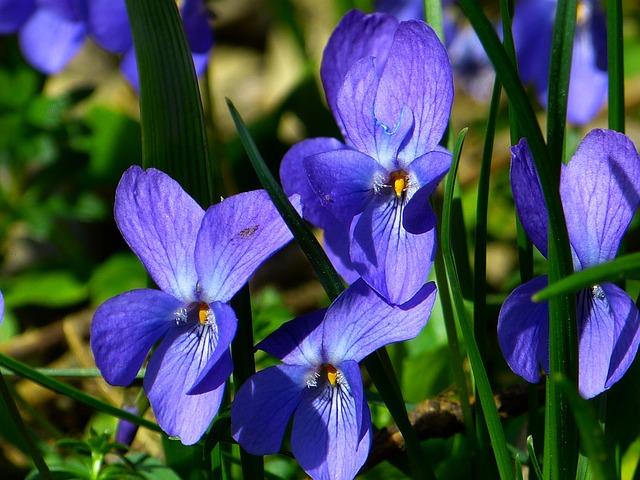 Violet, Viola, Purple, Plant, Flower