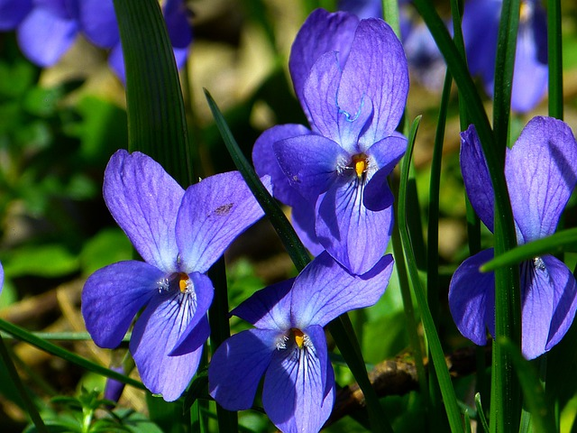 Violet, Viola, Purple, Plant, Flower