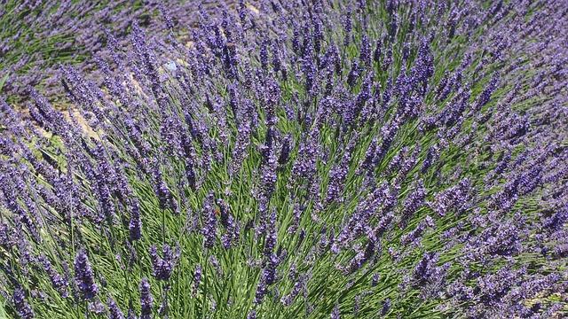 Lavender, Lavender Blossom, Violet, Bloom, Crop, Purple