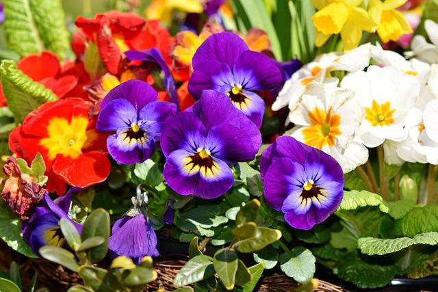 Flower, Pansy, Blossom, Bloom, Nature, Violet, Yellow