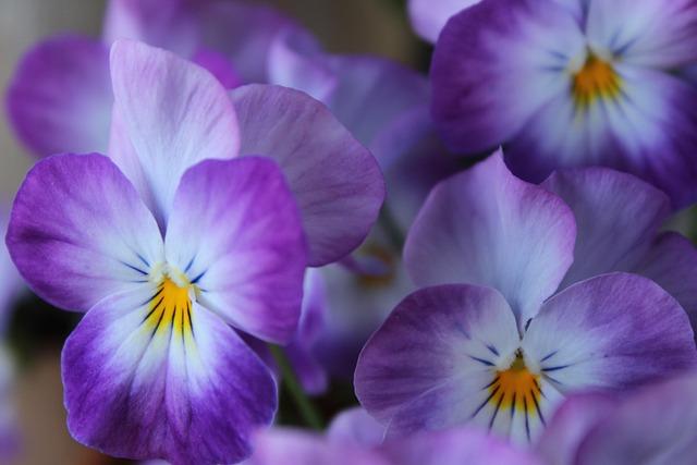 Violet, Flower, Spring, Viola, Blossom, Bloom, Pansy