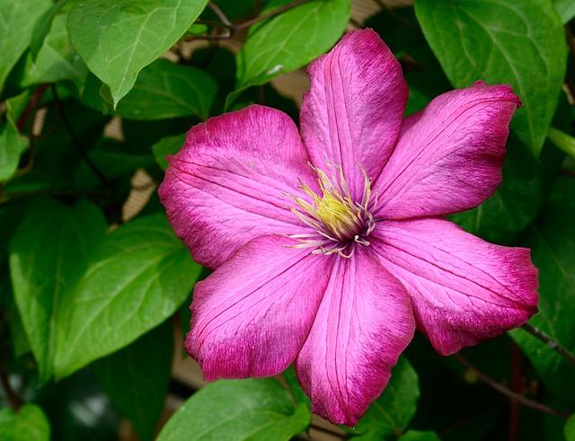 Clematis, Blossom, Bloom, Flower, Violet, Climber