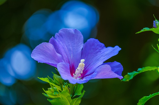 Hibiscus, Violet, Flower, Family Mallow Family, Blossom