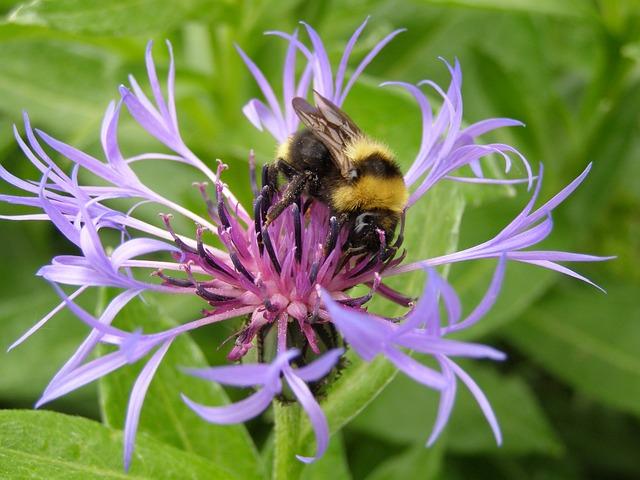 Cornflower, Close, Hummel, Nature, Flower, Violet