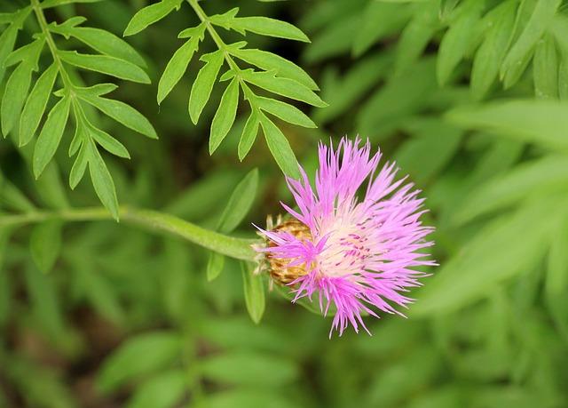 Cornflower Driakiewnik, A Flower Garden, Violet, Garden