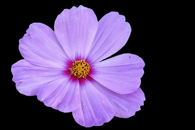 Cosmea, Blossom, Bloom, Violet, Flower, Cosmos, Garden
