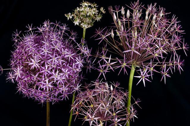 Flower, Ornamental Onion, Spring, Violet, Garden Plant