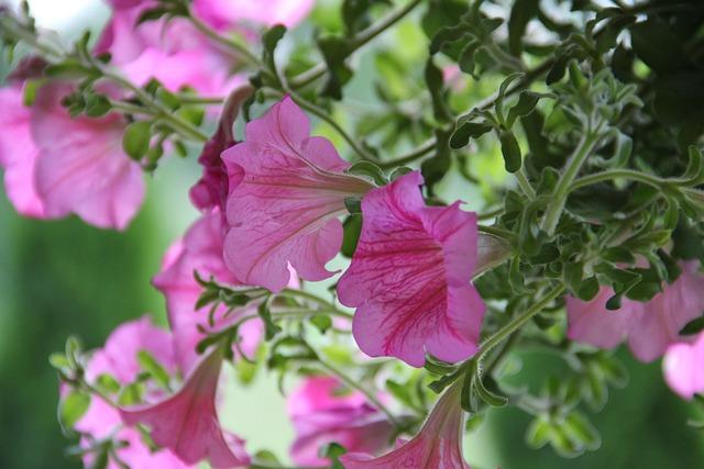 Surfinia, Flower, Garden, Plant, Violet