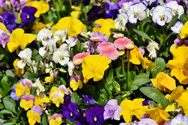 Pansy, Flowers, Violet, Spring Flower, Blossom, Bloom