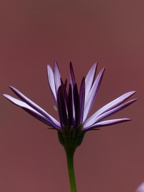 Cape Basket, Flowers, Light Purple, Violet
