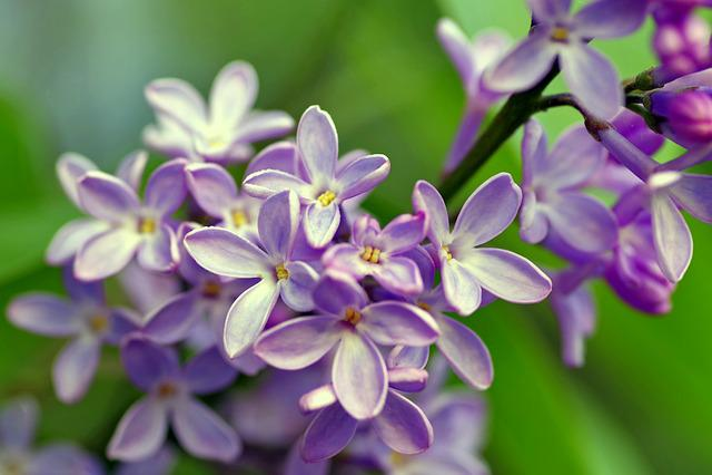 Lilac, Bush, Flowers, Garden, Macro, Violet, Without
