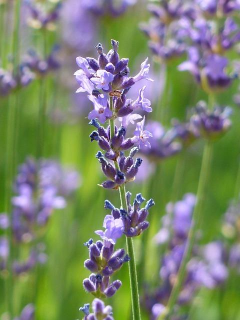 Lavender, Lavender Flowers, Purple, Violet