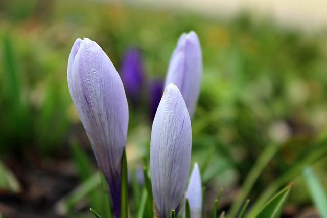 Krokus, Spring Flowers, Early Spring, Violet, March