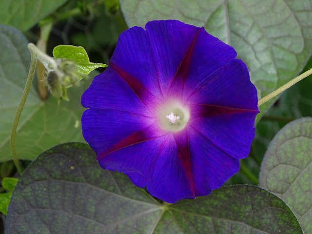 Funnel Thread, Morning Glory, Climber, Violet
