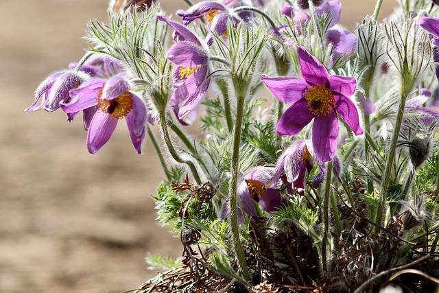 Pasqueflower, Pasque Flower, Hahnenfußgewächs, Violet