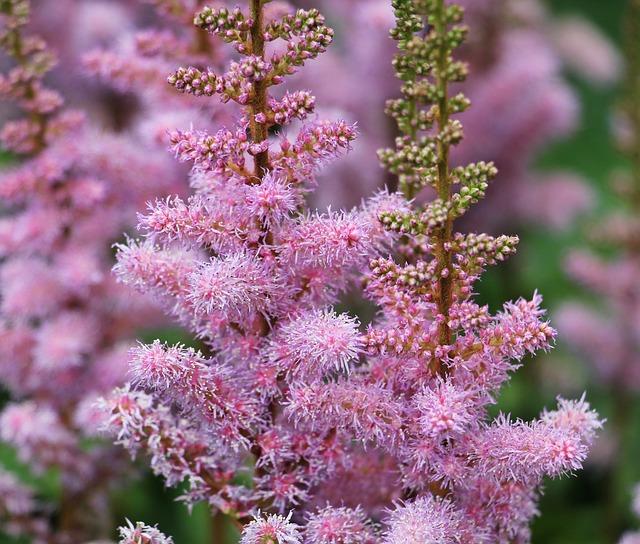 Knotweed, Flower, Plant, Purple, Violet, Pink, Nature
