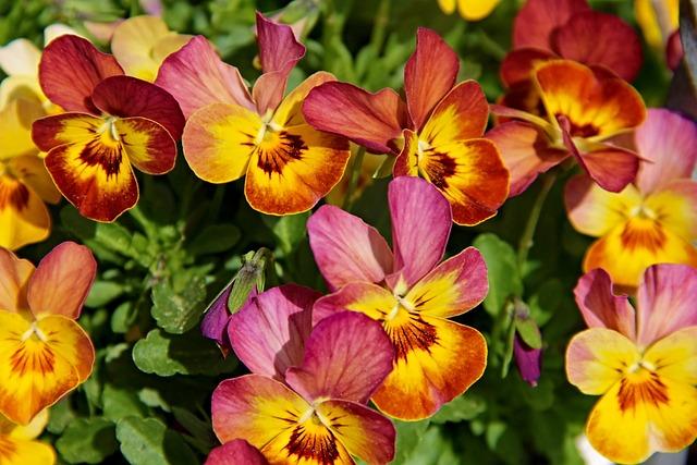 Pansy, Violet Plant, Violet, Viola, Flower Plants