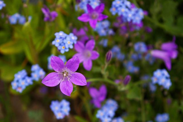 Violet, Bellflower, Purple, Blue, Flower, Blossom