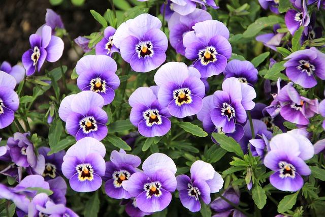Flowers, Pansy, Plant, Purple, Violet