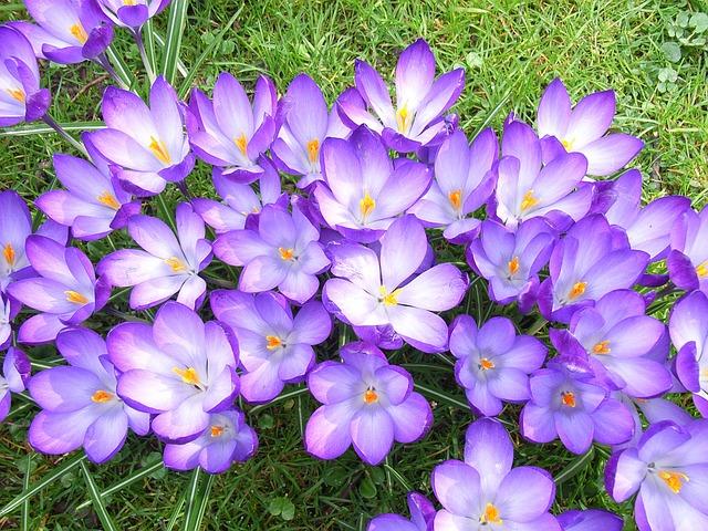 Crocus, Flower, Violet, Spring, Blossom, Flora, Floral