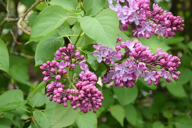 Flowers, Spring, Violet, Nature, Pink Flower, Foliage