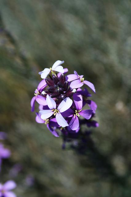 Canary Islands, Teide National Park, Flower, Violet