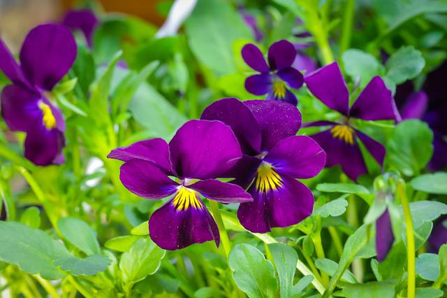 400–500, Violet, Pansy, Viola Cornuta, Flower, Nature