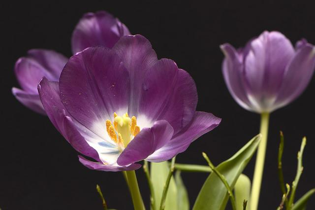 Tulips, Tulpenbluete, Flowers, Violet, Yellow, White
