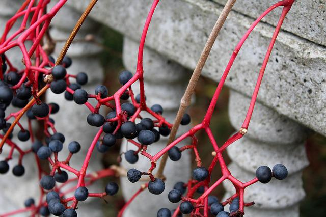 Virginia Creeper, Fruit Winobluszczu, Wild Wine