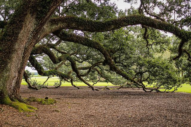 Virginia Live Oak, Southern Live Oak, Oak Tree